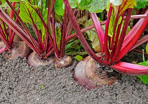 Garden Vegetables Beets