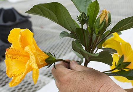 Fernlea Flowers Ltd  - Hawaiian Punch Hibiscus
