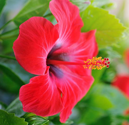 Fernlea Flowers Ltd Hawaiian Punch Hibiscus