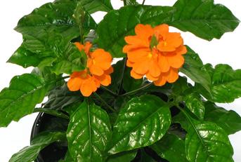 Fernlea Flowers Ltd Annuals Crossandra