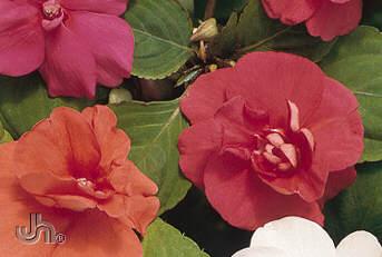 Fernlea Flowers Ltd Annuals Double Impatiens