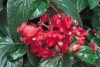 Fernlea Flowers Ltd Annuals Dragon Wing Begonia