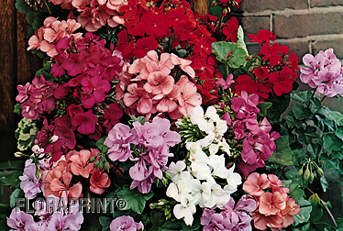 Related keywords suggestions for ivy geraniums plants - How to care for ivy geranium ...