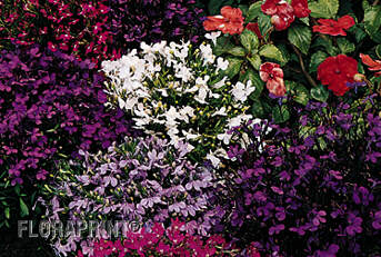 Fernlea Flowers Ltd Annuals Lobelia