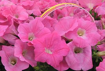Fernlea Flowers Ltd Annuals Wave Petunia