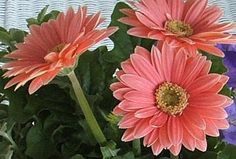 Fernlea Flowers Ltd. - Autumn Flowers Gerbera Daisy on