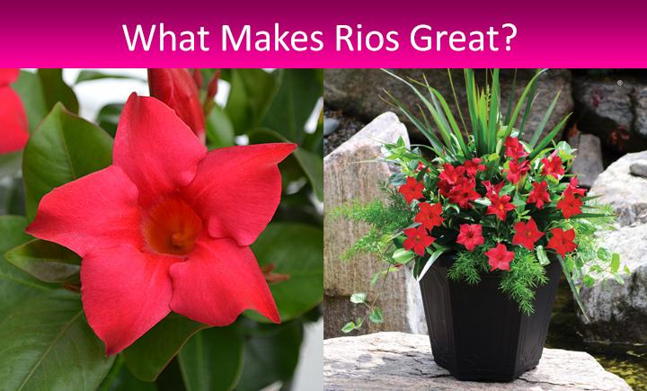 Rio Dipladenia Tropicals From Fernlea Flowers Ltd
