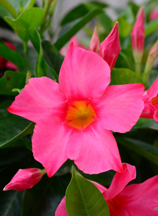 Rio Dipladenia in the greenhouse