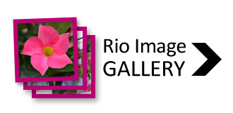 Rio Dipladenia Photo Gallery